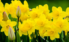 daffodils Today (PopsDigital) Tags: flowers flower color colour macro green beauty yellow horizontal wisconsin landscape petals tulips blossom sweet pastel blossoms daffodil bloom bud blooms delicate daffodils budding blooming billpevlor popsdigital sonyslta77v