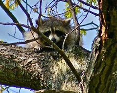 New York Raccoon (DennisDale) Tags: raccoon