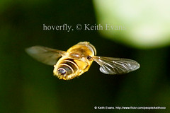 may 16th Llangollen nature, Hoverfly. (Welsh Wildlife.) Tags: animal insects bugs britishwildlife greatnature wildlifeinwales bbcwalesnature welshwildlife sonya65 keithevansllangollen keithevanswildlifephotosllangollen welshwildlifebykeithevansllangollen wildlifeinwalesbykeithevansllangollen cymraegbywydgwyllt keithevansnaturephotography wildlifewalesbykeithevans bywydgwylltyngnghymru wildlifephotographybykeithevansllangollenwales keithevansphotography