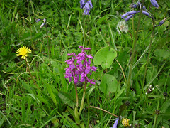 Glendurgan Garden (National Trust) (dsriley1) Tags: flowers orchid cornwall nationaltrust glendurgangarden