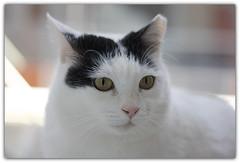 ♥GIRL♥ (sevgi_durmaz) Tags: cute girl beauty animals closeup cat sweet sweetheart lovely cuteness 1001nights mygirl kissable pamuk 1001nightsmagiccity