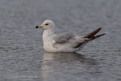 Ring-billed Gull, 1st-spring (Christopher L Wood) Tags: newyork bird animal us gull immature larus charadriformes larusdelawarensis laridae tompkinscounty larinae firstspring 1stspring firstcycle 1stcycle