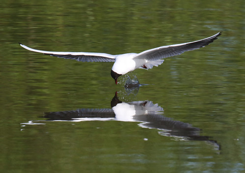 Blackheaded Gull Reflection