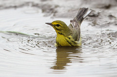 A Prairie Warbler Taking a Muddy Bath (rivadock4) Tags: park farm kinder prairie washing warbler splashing prairiewarbler kinderfarmpark