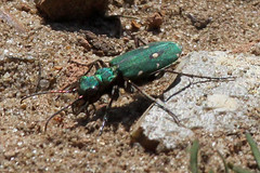 Green Tiger Beetle Cicindela campestris 2 (FlyingV99) Tags: green tiger beetles