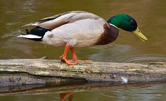 Mallard (aurora_photog) Tags: canon50d canonef70300mmf456is