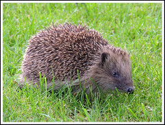 Hedgehog 28 (Magic Moments by Pippa) Tags: nature wildlife british mammals hedgehogs