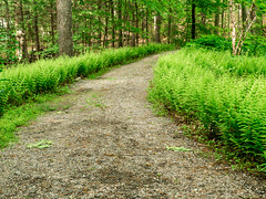 My kind of path (Wicked Dark Photography) Tags: flowers flower nature forest landscape ma spring woods flora path trail wildflowers ferns wildflower
