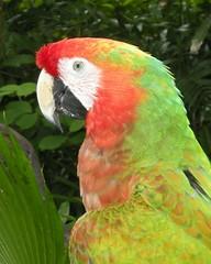 Last shot I promise (Kirt Edblom) Tags: red green bird mexico feathers parrot cancun soe xelha quintanaroo chacalal