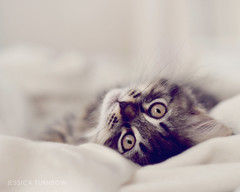 Minka (JessicaTurnbowPhotography) Tags: cute cat eyes furry kitten sweet adorable kitty kitsch whiskers crazycatlady