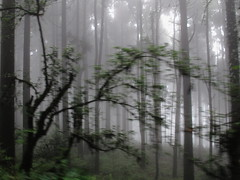 Passing Through (bhodaporel) Tags: trees mist motion leaves fog forest