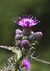 Thistle colours (Through Bri`s Lens) Tags: wild flower nature thistle mauve canon1740f4l canon7d
