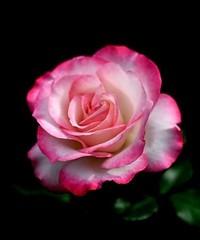 rose (alanpeacock2) Tags: roses flower flowersinmygarden
