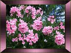 Oleander (clyde_95482) Tags: oleander