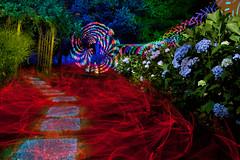Painting in my yard again (tackyshack) Tags: light painting lightpainting lightpainter lightphotography lp dlw digitallightwand rgb rgbstrip elwire gels monkeylight hydrangeas tackyshack ©jeremyjackson