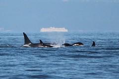 L95 Nigel, Calf L118 Jade, and L82 Kasatka Diving (katepielmeier) Tags: pod l orca calf l82 l95 srkw l118
