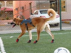 IMG_0280 (Flsimages) Tags: camera dog club canon photo football desert boots soccer middleeast running saudi arabia harness riyadh saudiarabia booties ksa photoclub vibram dogboots