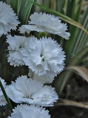 Carnation - Thursday Flower (sueeverettuk) Tags: uk england white leaves canon garden petals dianthus carnation wiltshire thursdayflower dianthuscaryophyllus warminster caryophyllus sueeverett severett canonpowershotsx50