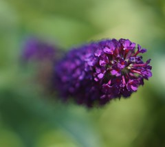 Purple Flower (the-bridge) Tags: flower nature outdoors sony arbouretum 2filter sonynex sonynex6 yashicayashininds50mmf19