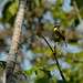 "Yellow-throated Flycatcher • <a style=""font-size:0.8em;"" href=""http://www.flickr.com/photos/101688182@N03/9771846982/"" target=""_blank"">View on Flickr</a>"