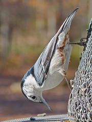 White-breasted Nuthatch male—13Nov12 (Bob Vuxinic) Tags: whitebreastednuthatch sittacarolinensis male crossvilletennessee cumberlandplateau suet feeder 13nov2012 bird
