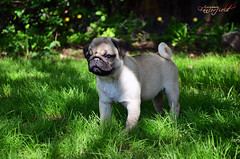 Dana (fancorfield) Tags: dog puppies pug perros cachorros mops carlino fancorfield