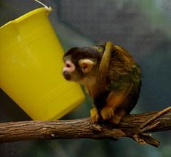 Just monkeying around at the KC Zoo (Adventurer Dustin Holmes) Tags: animal animals mammal monkey missouri mammals primate animalia mammalia primates kczoo kansascityzookansascity