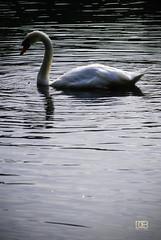 Mute Swan (@CubePhotos) Tags: life park uk wild nature water birds gardens photoshop garden scotland countryside swan pond nikon britain wildlife south beak scottish british ayr mute rozelle ayrshire d60 55200mm f456 cs6 vision:text=052