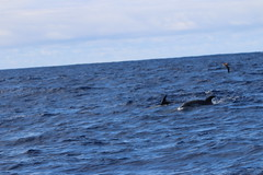 Common Bottlenose Dolphin - Madeira, Portugal