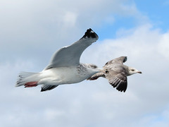 Herring Gulls (MD offshore) (stinkenroboter) Tags: bird larusargentatus pelagic herringgull