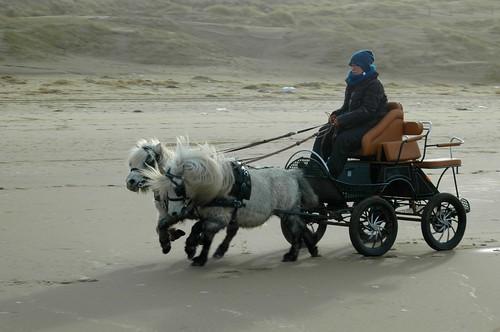 Shetlander Menrit