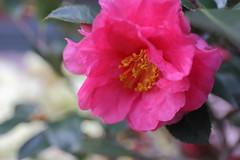 Camellia (jack.zhang) Tags: is shanghai usm ef 6d 2470mm f4l