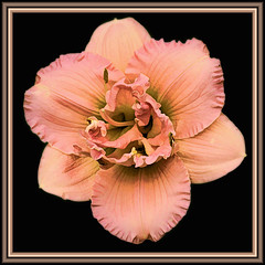 Peach Day Lily a la Topaz labs (gtncats) Tags: flowers nature daylily aoi topazlabs photographyforrecreation