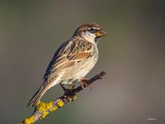 Spanish sparrow ( Passer hispaniolensis ) (diegocon1964) Tags: españa sevilla alcaládeguadaira spanishsparrow passerhispaniolensis gorriónmoruno
