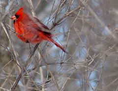 Northern Cardinal (WilletBeThere) Tags: bird cardinal iowa falls cedar northern sanctuary robinson cardinaliscardinalis fz200