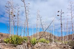 Agaven Wald (PauPePro) Tags: meer fuerteventura kanaren insel berge vulkan agaven isladeslobos