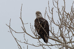 Juvenile Bald Eagle poses for pictures