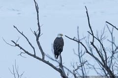 Bird of Prey (kevin-palmer) Tags: morning winter white snow cold tree bird oregon sunrise dawn early illinois wildlife branches baldeagle january rockriver castlerockstatepark kevinpalmer pentaxk5 pentaxdal55300mmf458