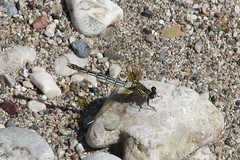 odalisque (andrew.jewels) Tags: water river insect stream dragonfly wildlife greece seven springs damselfly rodos rhodes gravel rhodos odalisque gossamerwing epta fatime piges euphaeidae epallage odalisques loutanis