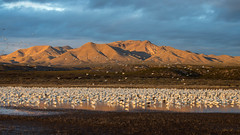 Morning Calm (Eric Gofreed) Tags: newmexico snowgeese rosssgeese basquedelapache