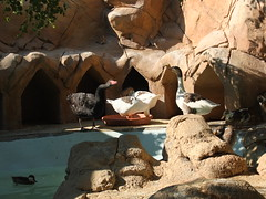 A family of geese- very artificial surroundings (oldandsolo) Tags: fauna zoo geese uae goose abudhabi unitedarabemirates waterbirds anatidae zoologicalgardens aquaticbirds anserini emiratesparkzoo samhaabudhabi
