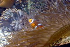 Poisson-clown (2) (Mhln) Tags: paris aquarium requin poisson trocadero poissons meduse 2015 cineaqua
