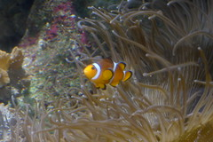 Poisson-clown (3) (Mhln) Tags: paris aquarium requin poisson trocadero poissons meduse 2015 cineaqua