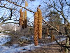 Hassel 20120305 DSCF9790 (stockholmpollen) Tags: mars march 2012 bergianska hassel 201203 20120305 fotopö