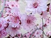 Flowering plum 2 (Needleloca) Tags: garden blossoms ribbet plumblossoms floweringplum 2015