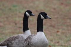 Canada Goose (Natty Abrahams) Tags: camera canada bird nature birds rebel geese nikon birding goose t5
