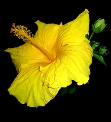 Pure Gold (Mary Faith.) Tags: flower macro nature yellow gold hibiscus flowerthequietbeauty