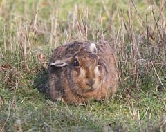 EUROPEAN BROWN HARE (LEPUS EUROPAEUS), OXFORDSHIRE FARMLAND. (Gary K. Mann) Tags: wild england brown canon hare farmland oxfordshire europaeus lepus
