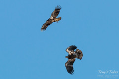 Juvenile Bald Eagle mid-air play sequence - 6 of 7