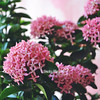 Spring Flowers (Miss.Dua'a) Tags: pink flowers roses plants love nature beauty rose spring ورود ورد جمال تصوير نباتات طبيعة نبات زهور ضوئي ازهار مصورين تفاؤل بينك احترافي اقتباسات